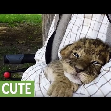 Tiger and Lion Cubs Get Snuggled Until They Fall Asleep