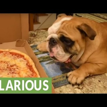 Winston the English Bulldog Sets His Sights on a Freshly Delivered Pizza