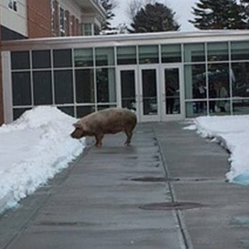 Forget the Market, This Little Piggy Went to a New Hampshire Polling Place to Vote