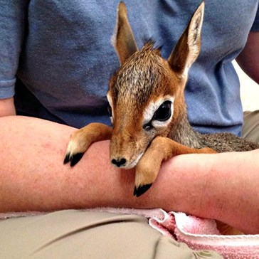 Baby Dik-Dik Has Big Eyes and Tiny Hooves