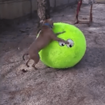 Pitbull Receives the Best Gift Ever: a Giant Tennis Ball