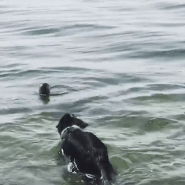 Watch a Dog and a Wild Otter Play Together at the Beach