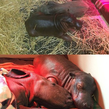 Rescued Baby Rhino and Hippo Have a Very Special Bond