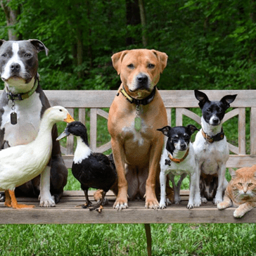 Four Dogs, Two Ducks, and a Cat All Live Together as One Big Happy Family