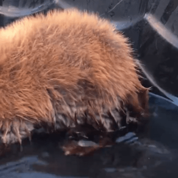 Baby Beaver Enjoys Some Playtime in the Pool