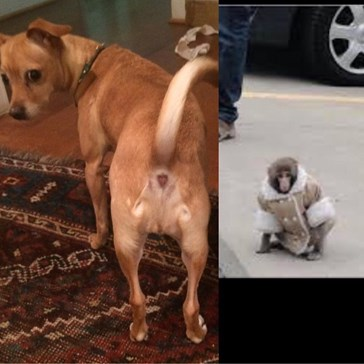 This Dog's Butt Looks Like the Ikea Monkey