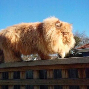 Help! I think my cat is turning into a lion...