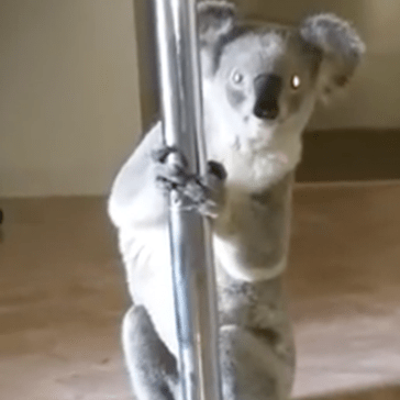 Only in Australia Would a Koala Break Into Someone's House and Try to Climb Their Stripper Pole