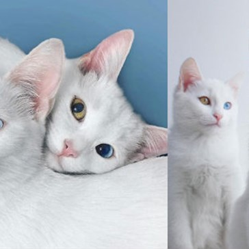 Twin Sisters, Iriss and Abyss, Are Cats With Stunning Heterochromic Eyes