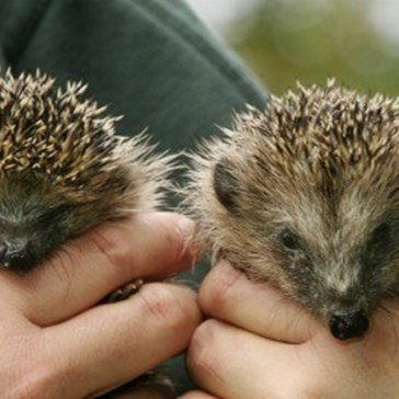 Prickly Bavarian Calls Police For Hedgehogs Having Noisy Sex