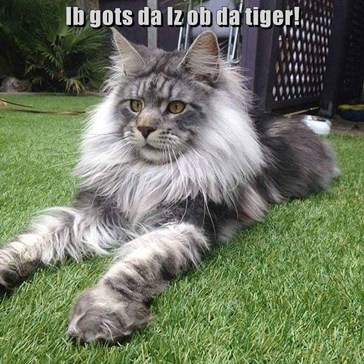 Ib gots da Iz ob da tiger!