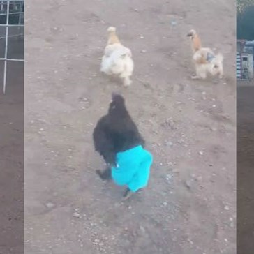 Charlie Is a Strong, Independent Chicken and He'll Wear Pants if He Wants To