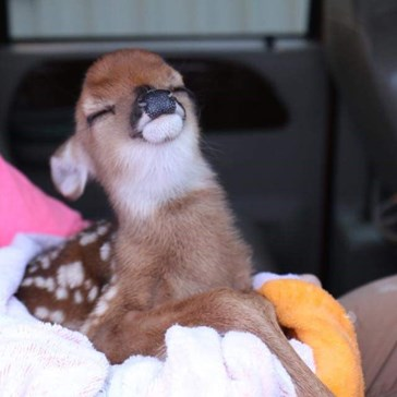 The Smug Goat Just Met His Match; Meet Smug Deer
