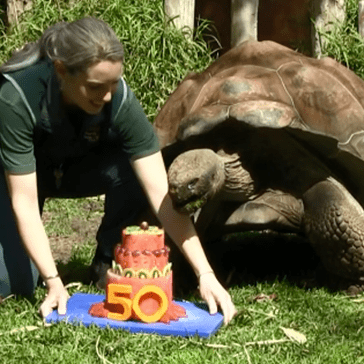 Cerro the Galapagos Tortoise Celebrated His 50th Birthday With a Watermelon Cake