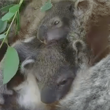Baby Koala Twins Peek at the Camera While They Hang out in Their Mum's Pouch