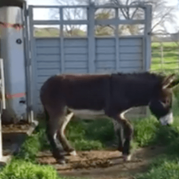 Burros From Arizona Don't Know How to React When They Experience Grass for the First Time