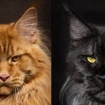 Photographer Specializes in Capturing Majestic Portraits of Cats