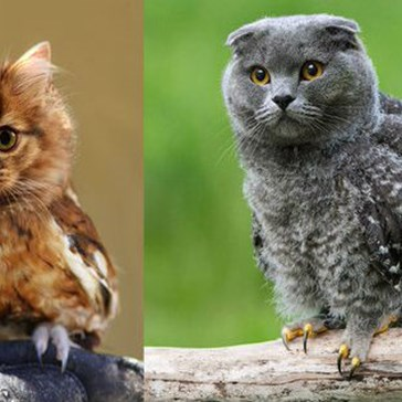 """Meowls"" Are a Gorgeous Cat/Owl Hybrid That the Mad Scientists of the Internet Have Created"