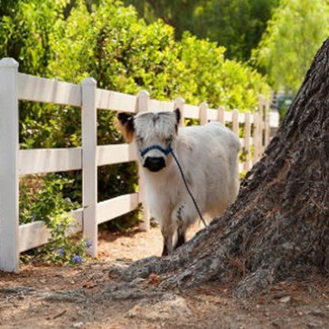 Moochi the Mini Cow Is Fluffy, Fabulous, and Ready for His Close Up