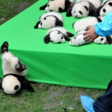 23 Giant Panda Babies Made Their Debut in China, but Only One Managed to Stand out From the Crowd