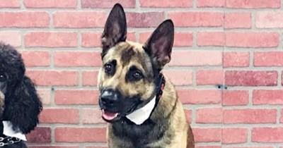 cute good boy dog fails service dog training school