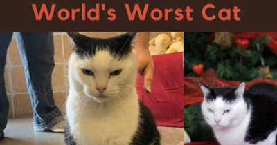 """Animal shelter posts Funny Adoption Ad """"The World's Worst Cat""""   pics of a white cat with black markings on the top of its head who looks kind of mean"""