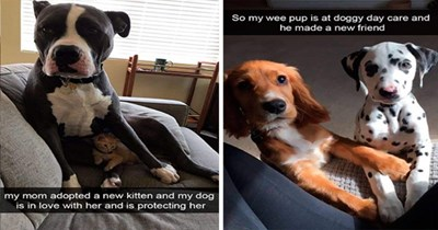 dogs doggo wholesome funny snaps snapchat aww lol memes | pit bull my mom adopted new kitten and my dog is love with her and is protecting her | dalmatian crossing paws with another puppy So my wee pup is at doggy day care and he made new friend