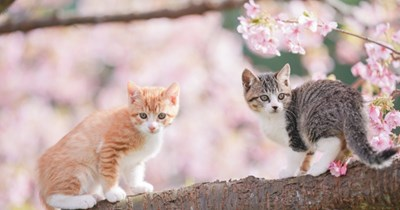 animal photos kitten Japan Cats cherry blossoms animals - 10715397
