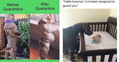 doggo dog funny memes dogs lol animals   After Quarantine Before Quarantine very buff muscular dog vs a chubby chonky dog   Hello hooman been assigned guard large dog watching over a baby in a crib