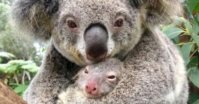 koala australia life animals aww cute birth hope baby | koala mom mama snuggling cuddling a baby newborn koala bear with a pink nose