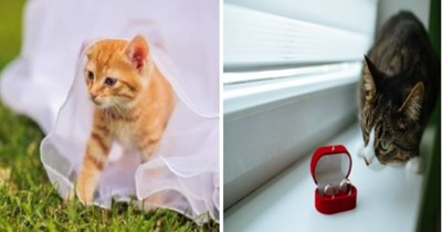 Cats in weddings | cute orange kitten under white gauze fabrics bride dress | curious grey cat looking closely at a red box with two rings