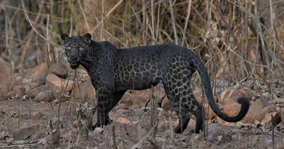 rare black leopard pics cats wildcats amazing incredible wow photography india reserve safari animals