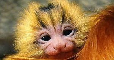 beautiful photos of the golden lion tamarin monkey - thumbnail of mom and baby golden lion tamarin monkey