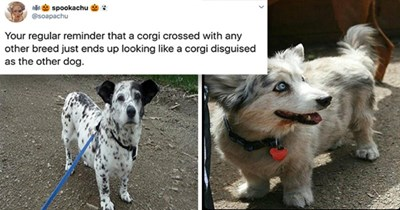 twitter thread proving that corgis crossed with other dog breeds just look like corgis in disguise - thumbnail includes two images, one of a corgi dalmation mix and a corgi australian shephard mix