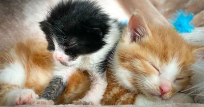 story about two rescued kittens named John Lennon and Ringo Starr becoming best friends thumbnail includes a picture of a ginger kitten and a black and white kitten cuddling