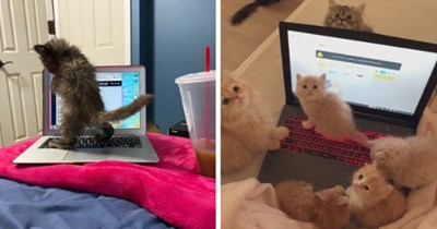 pictures of cats sitting on and near laptops thumbnail includes two pictures including a laptop surrounded by cats and kittens and another of a kitten standing on a laptop and playing with it