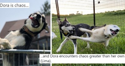 twitter thread of dogs with expressive faces thumbnail includes two pictures including a dog making a funny face and another of a dog being surprised by another dog acting crazy 'Photo caption - Blair Braverman @BlairBraverman 000 Replying to @BlairBraverman Dora is chaos... 6:30 PM · Nov 27, 2020 · Twitter for iPhone 21 Retweets 1 Quote Tweet 2.2K Likes' 'Mammal - Blair Braverman 000 @BlairBraverman Replying to @BlairBraverman .and Dora encounters chaos greater than her own (Lima). 6:32 PM · N'