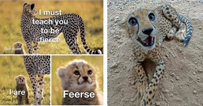 wholesome cheetah pictures and memes thumbnail includes two pictures including one of a cheetah smiling at the camera and another of a cheetah and its cub 'Nature - I must teach you to be fierce But mom T are Feerse'