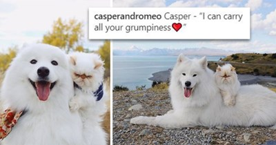 """happy dog and grumpy cat are best friends - thumbnail of samoyed smiling dog carrying a grumpy cat """" i can carry all your grumpiness"""""""