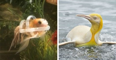 collection of positive animal news stories about animals thumbnail includes two pictures including a yellow penguin and a fish wearing a life jacket