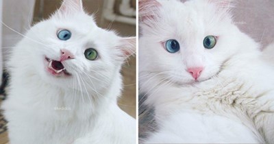 gorgeous cat instagram spotlight - thumbnail includes two images of white cat with heterchromia