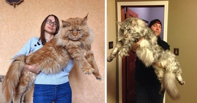 12 pictures of maine coon cats