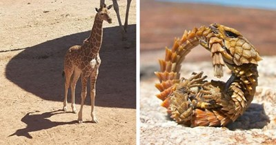 this week's collection of pictures that are worth more than 1000 words thumbnail includes two pictures including a giraffe that has the shadow of a unicorn and an ouroborus cataphractus biting its own tail and making a circle with its body