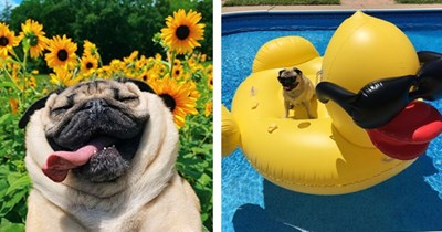 18 images of pug from instagram   thumbnail left pug with tongue out in sunflower field, thumbnail right pug sitting on inflatable rubber duck in pool