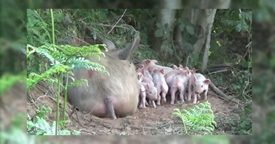 12 images of pig pregnancy, piglets, about matilda the pig and birth story | thumbnail matilda and her piglets in woods