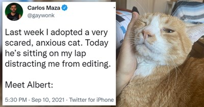 tweets of stories of nervous cats finally getting used to their homes | thumbnail includes a picture of someone petting a cat and one tweet 'Product - Carlos Maza @gaywonk Last week I adopted a very scared, anxious cat. Today he's sitting on my lap distracting me from editing. Meet Albert: 5:30 PM - Sep 10, 2021 - Twitter for iPhone 445 Retweets 40 Quote Tweets 15.3K Likes'