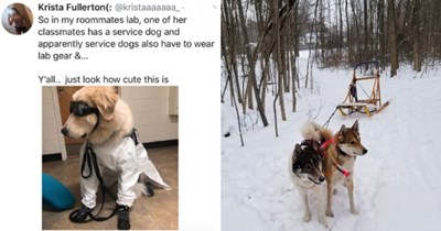 collection of photos of dogs who work as service animals, police dogs, or any other profession | thumbnail includes tweet saying ' So in my roommates lab, one of her classmates has a service dog and apparently service dogs also have to wear lab gear &... Y'all.. just look how cute this is' and two photos of dogs, one in a labcoat and goggles, another pulling a sled