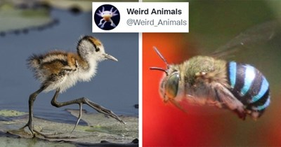 tweets about weird animals   thumbnail includes two pictures including a blue bee and a baby jacana 'Weird Animals @Weird_Animals'