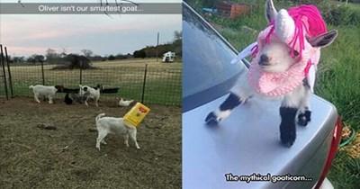 goats cute funny goats funny cute goats - 5691397