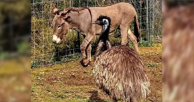 jack and diane forbidden love love story donkey emu - 7129861